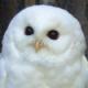 [GM]WhiteOwl